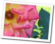 La rosa marchita es la más bonita.