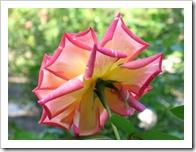 Ya no es la rosa joven, pero es la más hermosa.